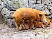 Свиньи в хлеве Стоковое фото RF