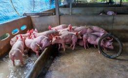 Свиньи в Pigpen Большая ручка молодых белых свиней Сельское хозяйство свиньи Интенсивно обрабатыванные землю свиньи Стоковые Изображения RF