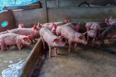 Свиньи в Pigpen Большая ручка молодых белых свиней Сельское хозяйство свиньи Интенсивно обрабатыванные землю свиньи Стоковые Фото