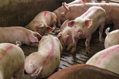 Свиньи в Pigpen Стоковая Фотография RF