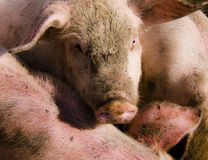 свиньи группы большие белые Стоковое Изображение RF