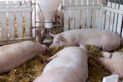 Свиньи есть от фидера борова Стоковые Фотографии RF