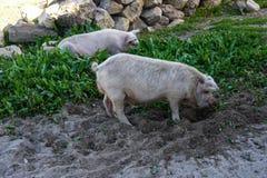 Свиньи есть траву в открытом поле стоковое фото rf