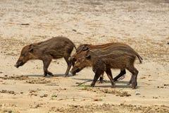 Свиньи детей бородатые в национальном парке Bako Стоковое Изображение RF