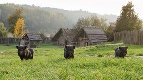Свиньи или поросята на ферме Стоковое Изображение RF