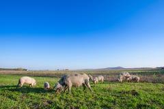 Свиньи и поросята пася стоковое фото