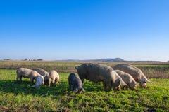 Свиньи и поросята пася стоковая фотография