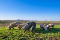 Свиньи и поросята пася стоковое фото rf