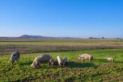 Свиньи и поросята пася стоковые изображения rf