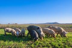 Свиньи и поросята пася стоковые фотографии rf