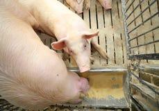 свиньи и хавроньи едят в поголовье фермы Стоковые Фото