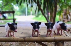 Свиньи карлика тела свиньи малые миниатюрные Стоковые Изображения RF