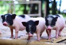 Свиньи карлика тела свиньи малые миниатюрные Стоковое Изображение