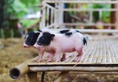 Свиньи карлика тела свиньи малые миниатюрные Стоковое фото RF