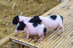 Свиньи карлика тела свиньи малые миниатюрные Стоковое Изображение RF