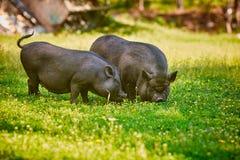 Свиньи крупно-bellied вьетнамцем черные Пасите на ферме на ясном зеленом луге с свежей травой и цветками стоковые фотографии rf