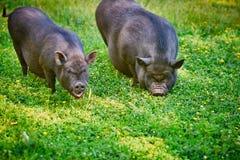 Свиньи крупно-bellied вьетнамцем черные Пасите на ферме на ясном зеленом луге с свежей травой и цветками стоковые фото