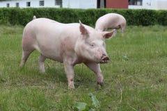 Свиньи наслаждаясь солнечностью на зеленой траве около фермы Стоковое Изображение
