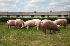 Свиньи наслаждаясь солнечностью на зеленой траве около фермы Стоковая Фотография RF