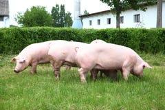 Свиньи наслаждаясь солнечностью на зеленой траве около фермы Стоковые Изображения
