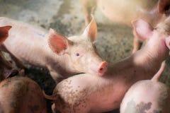 Свиньи на ферме Мясная промышленность Сельское хозяйство свиньи, который нужно встретить Стоковое фото RF