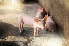 Свиньи на ферме Мясная промышленность Сельское хозяйство свиньи, который нужно встретить Стоковые Фотографии RF