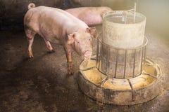 Свиньи на ферме Мясная промышленность Стоковое Изображение RF