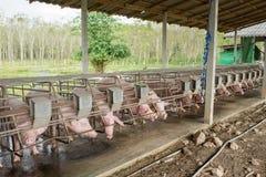 Свиньи на ферме Стоковые Изображения