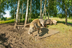 Свиньи на ферме стоковое фото rf