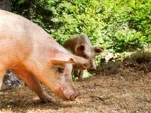Свиньи на col de Verde стоковое фото rf