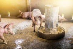 Свиньи одно едят еду от фидера Стоковое Изображение RF