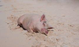 Свиньи острова Стоковая Фотография