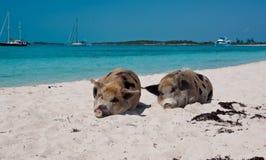 Свиньи острова Стоковое Фото