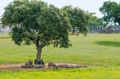 свиньи отдыхая в тени стоковые фото