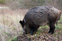 свиньи одичалые Стоковое Изображение