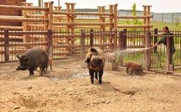 Свиньи, поросята Стоковая Фотография RF