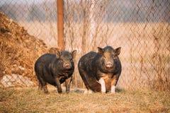 2 свиньи представляя в дворе фермы Сельское хозяйство свиньи поднимает и разводит Стоковые Изображения