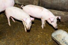 Свиньи размножения на ферме Грипп свиньи Стоковая Фотография