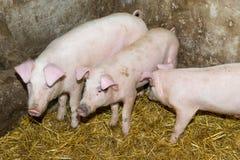 Свиньи размножения на ферме Грипп свиньи Стоковое фото RF