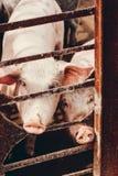 Свиньи смотрят вне от за решеткой Стоковые Изображения RF