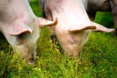 Свиньи снаружи в траве Стоковая Фотография