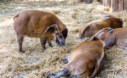 Свиньи спать и есть сено Стоковые Фото