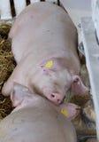 Свиньи спать около фидера борова Стоковые Изображения