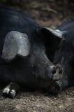 Свиньи спать Стоковые Фотографии RF
