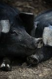 Свиньи спать Стоковое Фото