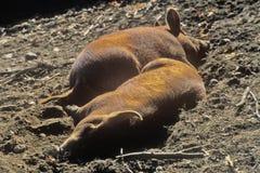 2 свиньи спать, Sturbridge, Массачусетс Стоковая Фотография