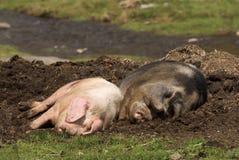 Свиньи спят Стоковые Фотографии RF