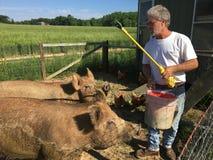 Свиньи фермера подавая Стоковое фото RF