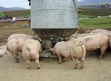 свиньи фермы Стоковое Фото
