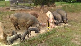 свиньи Стоковая Фотография RF